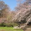 砧公園の桜 見頃を迎えました🌸🌸🌸Cherry Blossoms at Kinuta park, Tokyo