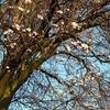 明日から3月で桜も絶賛開花中