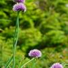 この夏覚えた高山植物VOL.27  「香りで魅了赤い葱坊主 シロウマアサツキ」