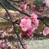 もう桜が咲いていました〜河津桜〜