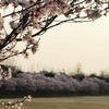 大野極楽寺公園 木曽川堤の桜