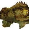 """ハリスを細くして釣る、美味しい魚 """"くろめばる ー黒目張ー"""