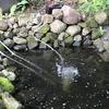 カメトープ2号池にアオコが発生しました②(エアポンプ導入も・・・)