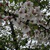花冷えの名残桜。