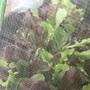 プランターで野菜づくり2 〜ベビーリーフ&サニーレタス