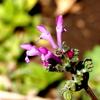 春の草花ーホトケノザ