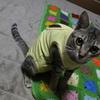 エリザベスウェアを着た猫。