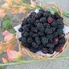 お知らせ!無農薬ブラックベリー販売@新潟EMBC複合発酵バイオで栽培する健康農産物の会