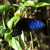 生き物探検記 - 台湾で野鳥観察の旅!② 〜南国らしい美しい蝶に出会えた編〜