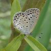 ヤマトシジミ - 都会に暮らすたくましい小さなチョウ | 虫紹介