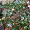 日陰に植えたハルサザンカ笑顔は枝が細く虫にも喰われやすかった