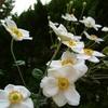 シュウメイギクの花 2012