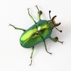 インスラリスキンイロクワガタの飼育記録 ~幼虫から成虫・産卵まで~