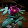 薔薇の不思議