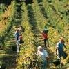 イタリアワイン 2018年ワイン用ブドウの収穫予想情報 (16-1)
