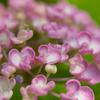 両性花だけのガクアジサイも:アジサイ色々