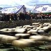 チベット伝統の「羊数え」競技