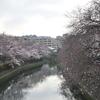 大岡川でお花見