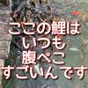 岡山県県北 大芦高原のお楽しみ!温泉雲海に浸かった後は大芦池の腹ぺこ鯉に会いに行こう。