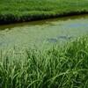 宍道湖のアサザ