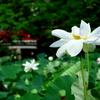 CANON EOS KISS X2の作例。鎌倉鶴岡八幡宮の蓮の花の撮影