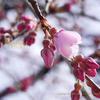 シダレザクラ、咲いています!2015Cerasus spachiana