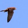 足を出したまま飛ぶチョウゲンボウ