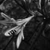 OLYMPUSのコンデジ 「XZ-10」で2017年7月2日までに撮影した写真を紹介します。クチナシやキキョウをモノクロで撮影しました