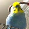 ヒナ26日目 親鳥がヒナと一緒に居ない? 自立を促すセキセイインコ
