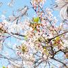 桜と3Dプリンター