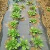 ジャガイモのトンネル撤去とトウモロコシの定植