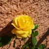 咲きづらくなってきましたが…「ポラリス・アルファ」