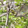 ジィちゃんと探鳥、ひので野鳥の森自然公園のヒタキ他/2021-01-31