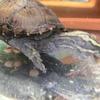 トウブドロガメ子亀、私のエサの量の目安。