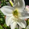 白い花も咲いたよ🌸