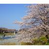【埼玉の桜】寄居町・荒川上流の桜と鉢形城跡の氏邦桜を撮ってきた!