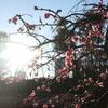 通勤途中に梅の花に出会えました