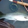 北海道 HOW TO  渚滑川の釣り   / 大きいニジマスを間違いなく釣りたいなら