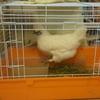 烏骨鶏ゲージの産卵、冬支度。完全自己流編