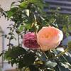 秋のバラ開花