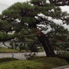 一本松の枝枯れ