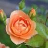 昨日から今朝にかけての薔薇の状態