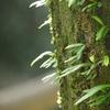 シダ植物のノキシノブ(瓦韋) どんな植物?効能は?