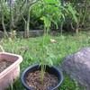 8/22 夏オクラ植えてみました。 12日目