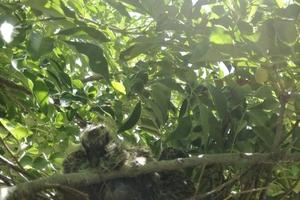 ハトが巣を作り、ヒナが巣立つまでの記録。ハトのヒナの成長の記録。
