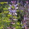 南仏便り15 ヴァランソル高原最終回 クラリセージ clary sage,Salvia sclarea