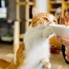 食後のヨーグルトを楽しむ猫