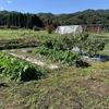大生姜の収穫と、チャレンジ畑の夏野菜の撤収