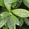 沈丁花に雨の滴