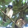 石神井公園の野鳥 アオバズク他 2021年8月10日